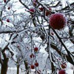 Jak chránit stromky a keře před mrazem?