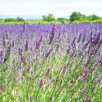 Jak pěstovat levanduli vkvětináči