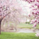 Pěstování a stříhání magnolie