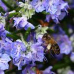 Jak pěstovat rozmarýn v květináči