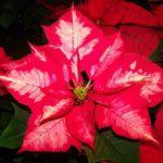 Vánoční hvězda – jak na její pěstování?