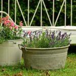 Správné pěstování levandule – Sadba, stříhání, řízkování