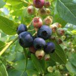 Jak zasadit, pěstovat a hnojit kanadské borůvky?