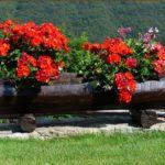 Jak pěstovat muškáty?