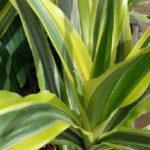 Jak pěstovat dracenu neboli dračinec