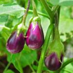 Jak sázet a pěstovat lilek?